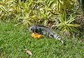 Iguana iguana eating Mangifera indica from Venezuela.jpg