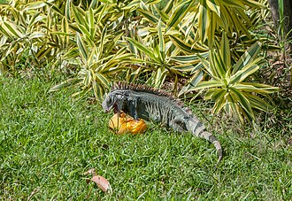 Iguana - Iguanas have an exclusively herbivorous diet, as illustrated above by a Green Iguana eating a mango in Venezuela.