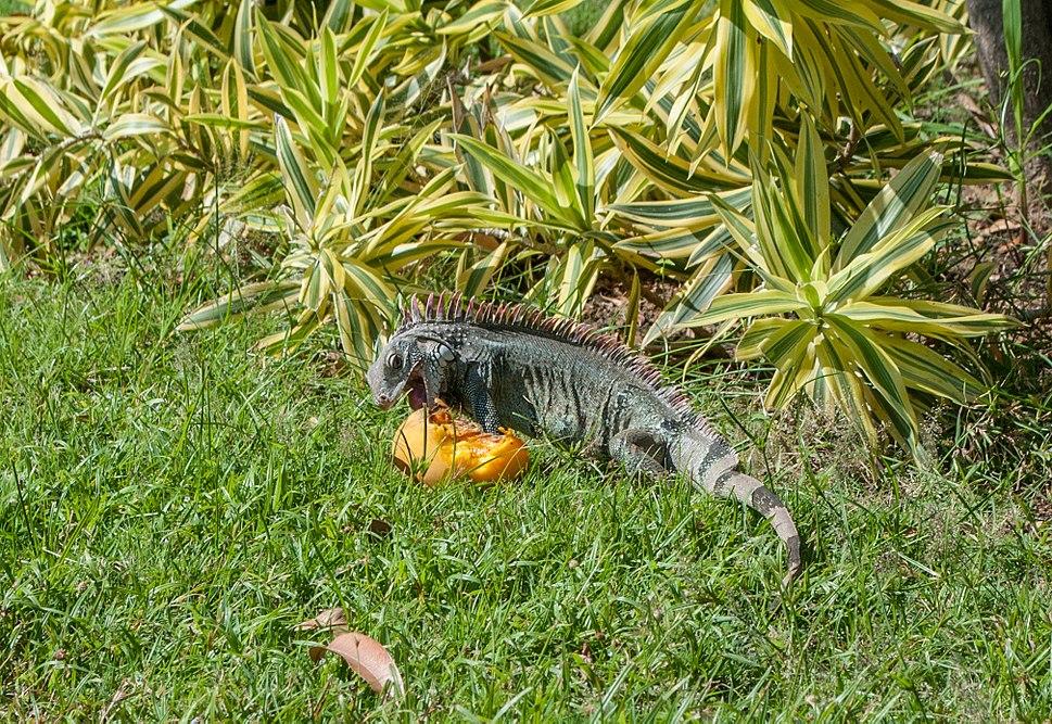 Iguana iguana eating Mangifera indica from Venezuela
