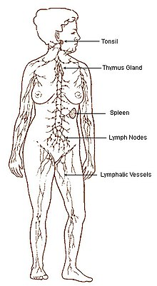 Lymphatic system wiktionary diagram of a females lymphatic system ccuart Images