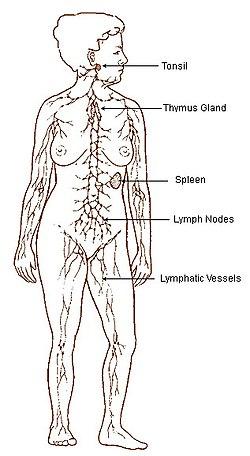 Obrázek zobrazující lymfatickou soustavu. Shora dolů: mandle, žláza brzlíku, slezina, mízní uzliny, mízní cévy