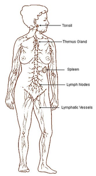 Lymph node - Image: Illu lymphatic system