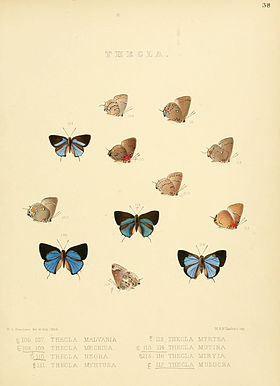 Illustrations of diurnal Lepidoptera 38.jpg