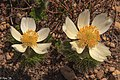 In and around Crater Lake Nat'l Park - Western Pasque Flower (Pulsatilla) - (28653768412).jpg