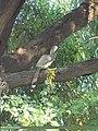 Indian Grey Hornbill (Ocyceros birostris) (15708376209).jpg