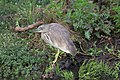 Indian Pond Heron, Gir.jpg