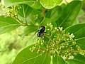 Insects Bee from Madayipara DSCN2134.jpg