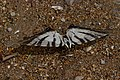 Iphiclides podalirius exanimus (KPFC) 03.jpg