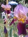 Iris sul Monte Salviano.jpg
