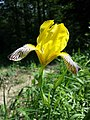 Iris variegata sl68.jpg