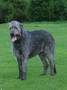 Irish Wolfhound 3.jpg