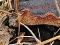 Ischnoderma benzoinum 108798549.jpg
