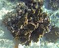Isopora palifera, isla Lord Howe.jpg