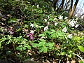 Isopyrum thalictroides sl38.jpg