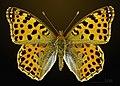 Issoria lathonia MHNT CUT 2013 3 24 PONT GERENDOINE Male Dorsal.jpg