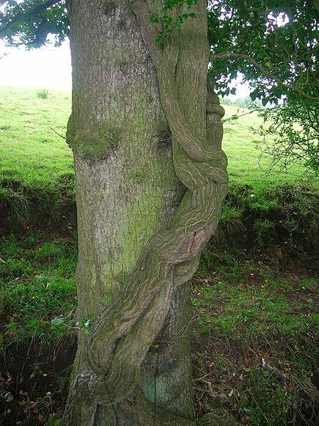 File:Ivy on tree in Burn anne Woodland.JPG