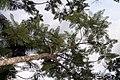 Jacaranda mimosifolia 19zz.jpg