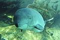 Jack, a harbour porpoise at Vancouver Aquarium.jpg
