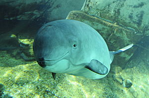 Polyandry in nature - Harbour porpoise at Vancouver Aquarium