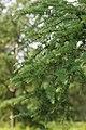 Japanese Larch Larix kaempferi Branches 2000px.jpg