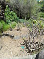 Jardín canario 75.JPG