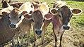 Jersey Cows .jpg