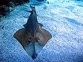 Jielbeaumadier raie requin monaco 2012.jpeg