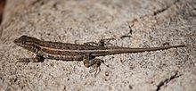 Joshua Tree NP - Desert Side-blotched Lizard - 1.jpg