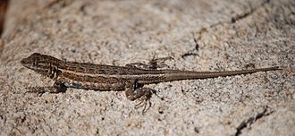 Common side-blotched lizard - Image: Joshua Tree NP Desert Side blotched Lizard 1