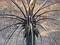 Jubaea chilensis - Incendio Palmar El Salto, Viña del Mar, febrero 2012 por Pato Novoa 002.jpg