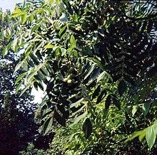 Juglans ailantifolia.jpg