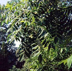 Japanese Walnut foliage and nuts
