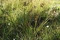Juncus.acutiflorus.2.jpg