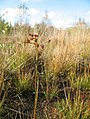 Juncus canadensis inflorescence (01).jpg