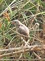 Jungle Babbler (Turdoides striata) (15707144150).jpg