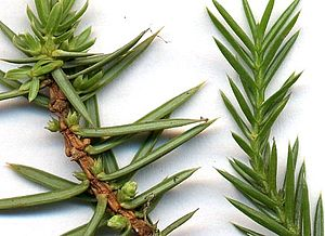 Juniper - Juniper needles, magnified. Left, Juniperus communis (Juniperus sect. Juniperus; note needles 'jointed' at base). Right, Juniperus chinensis (Juniperus sect. Sabina; note needles merging smoothly with the stem, not jointed at base)