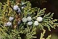 Juniperus maritima 5600.JPG