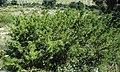 Juniperus pinchotii (redberry juniper) 1 (39927419072).jpg
