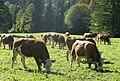 Kühe Schlehdorf Kochelsee.jpg