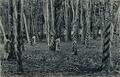 "KITLV - 1404046 - Kleingrothe, C.J. - Medan - ""Para Rubber, harvesting 12 - 15-year-old trees"" - .tif"