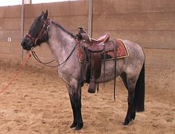 Kentucky Mountain Saddle Horse, 3-jährige Stute, smokey-black-roan