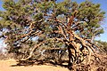Kameldornbaum Simplon.jpg