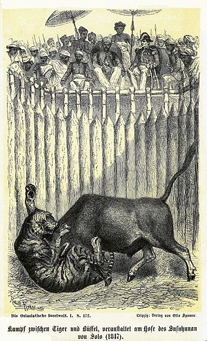 Rampokan - Print of a fight between a Water buffalo and a tiger.