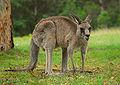 Kangaroo Australia 01 11 2008 - retouch2.jpg