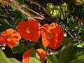Kapuzinerkresse – Arboretum Ellerhoop 1.jpg