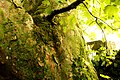 Kilmun Ahornbaum 3 Borke.jpg