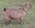 Kinder goat standing.jpg