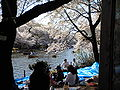 Kirschbluete-inokashira.jpg