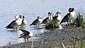 Knob-billed Duck (Sarkidiornis melanotos) (46494364642).jpg