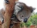 Koala - Werribee Open Range Zoo - Melbourne - Australia 2019.jpg